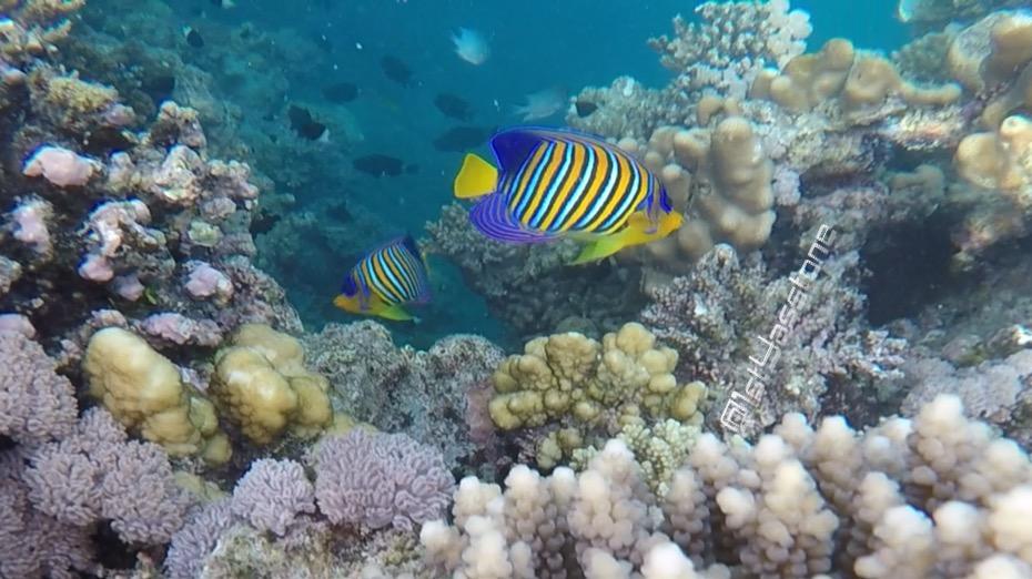 سمكة الفراشة.. أهم أسماك البحر الأحمر