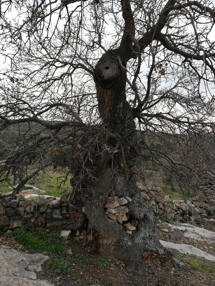 شجرة سيدنا الخضر في بلدة كفركيفيا بلواء الكورة في اربد  تحتضر... شاهد الصور
